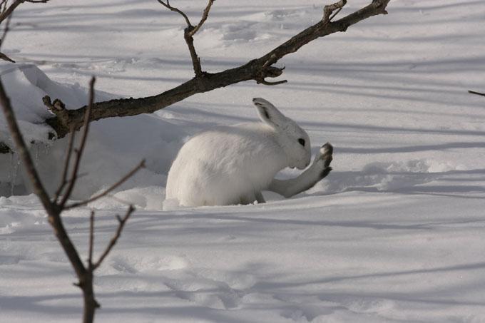 ユキウサギの画像 p1_30